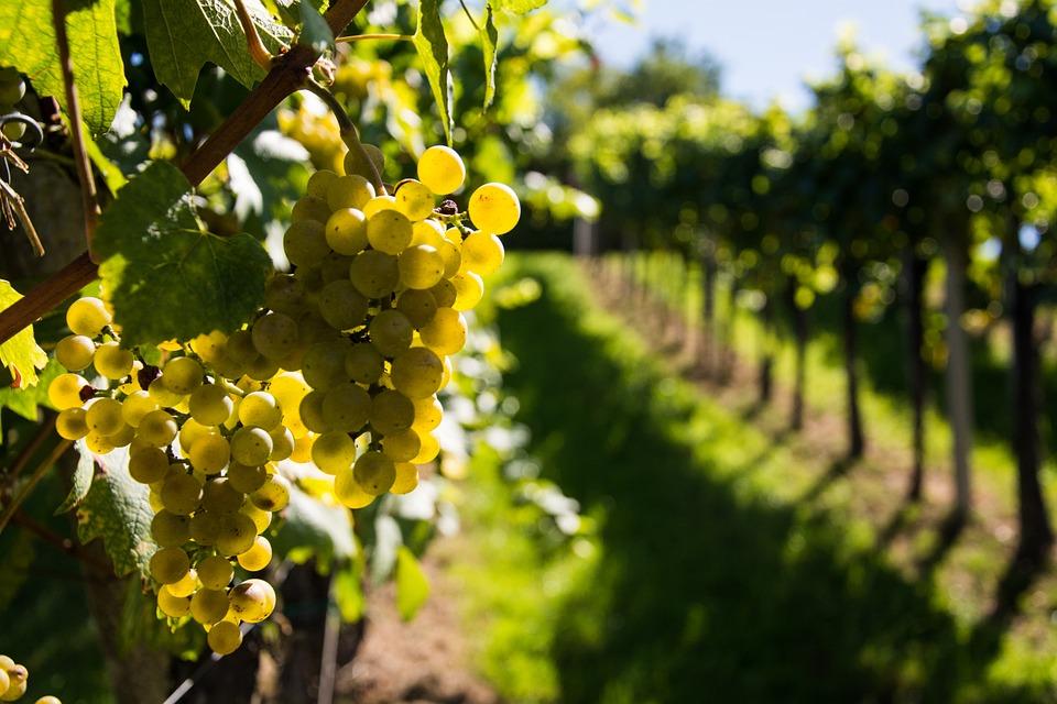 armaniac,vigne,gers,gondrin,culture,loisir,gascogne